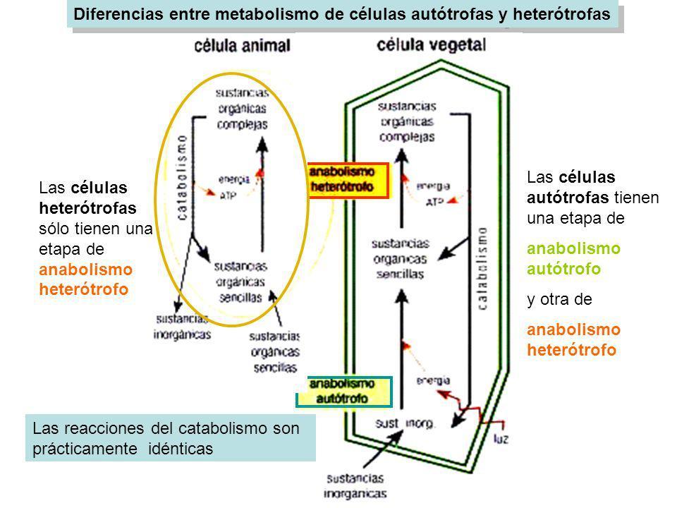 Diferencias entre metabolismo de células autótrofas y heterótrofas