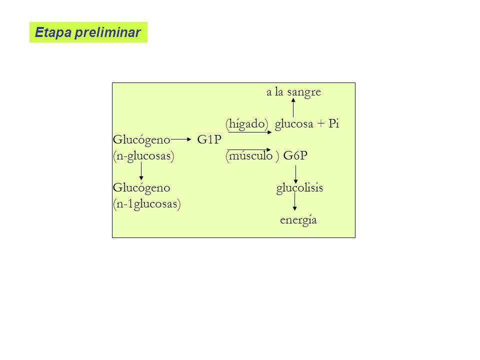 Etapa preliminar a la sangre. (hígado) glucosa + Pi. Glucógeno G1P. (n-glucosas) (músculo ) G6P.