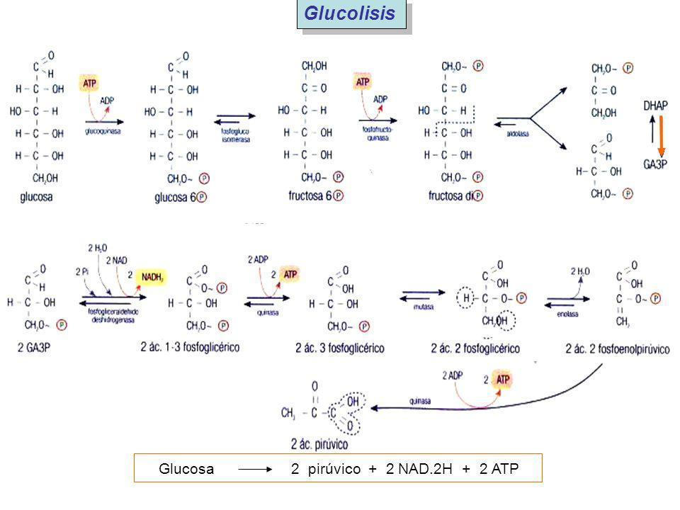 Glucolisis Glucosa 2 pirúvico + 2 NAD.2H + 2 ATP