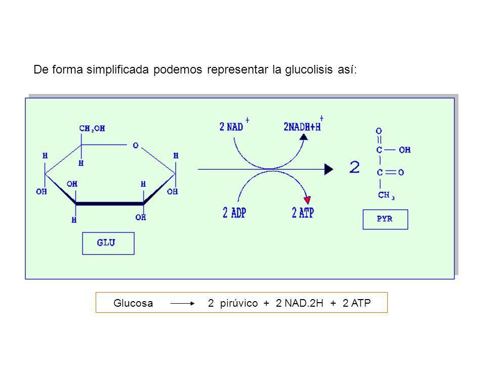 De forma simplificada podemos representar la glucolisis así: