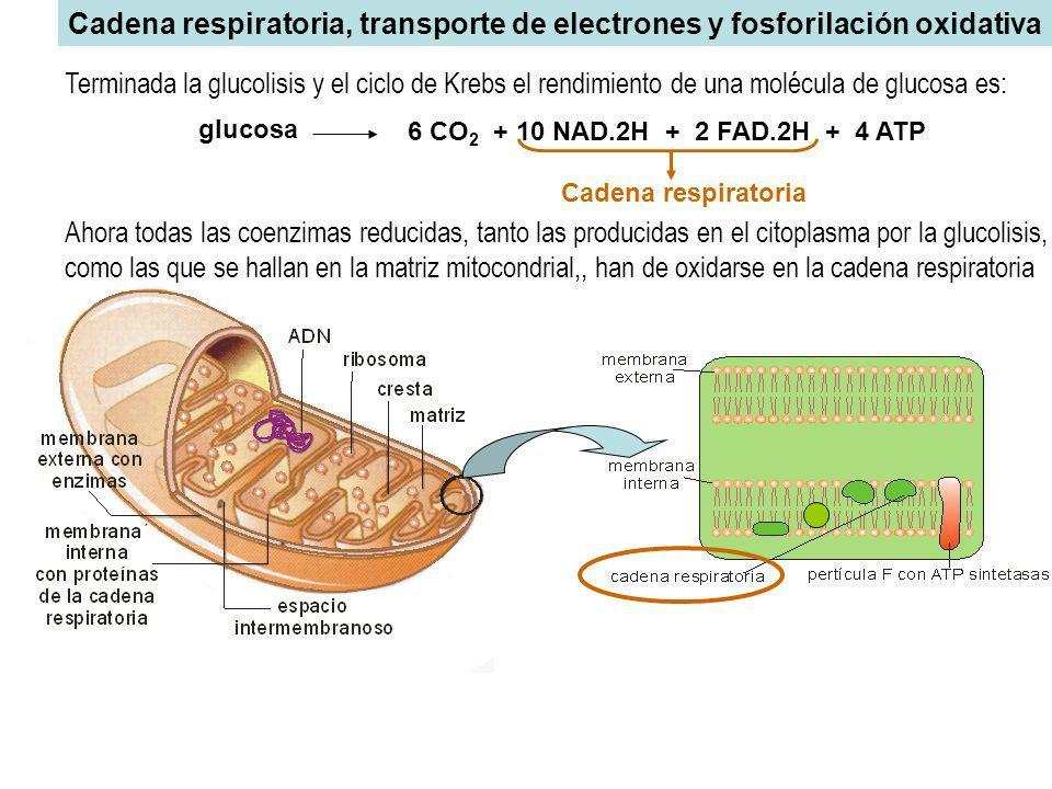Cadena respiratoria, transporte de electrones y fosforilación oxidativa