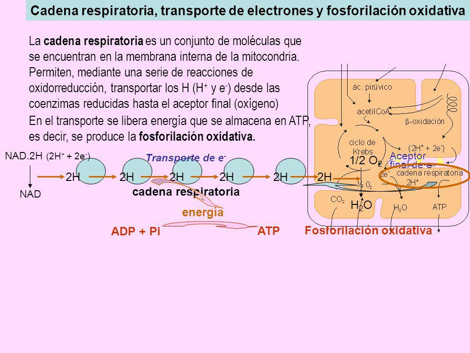 En el transporte se libera energía que se almacena en ATP,