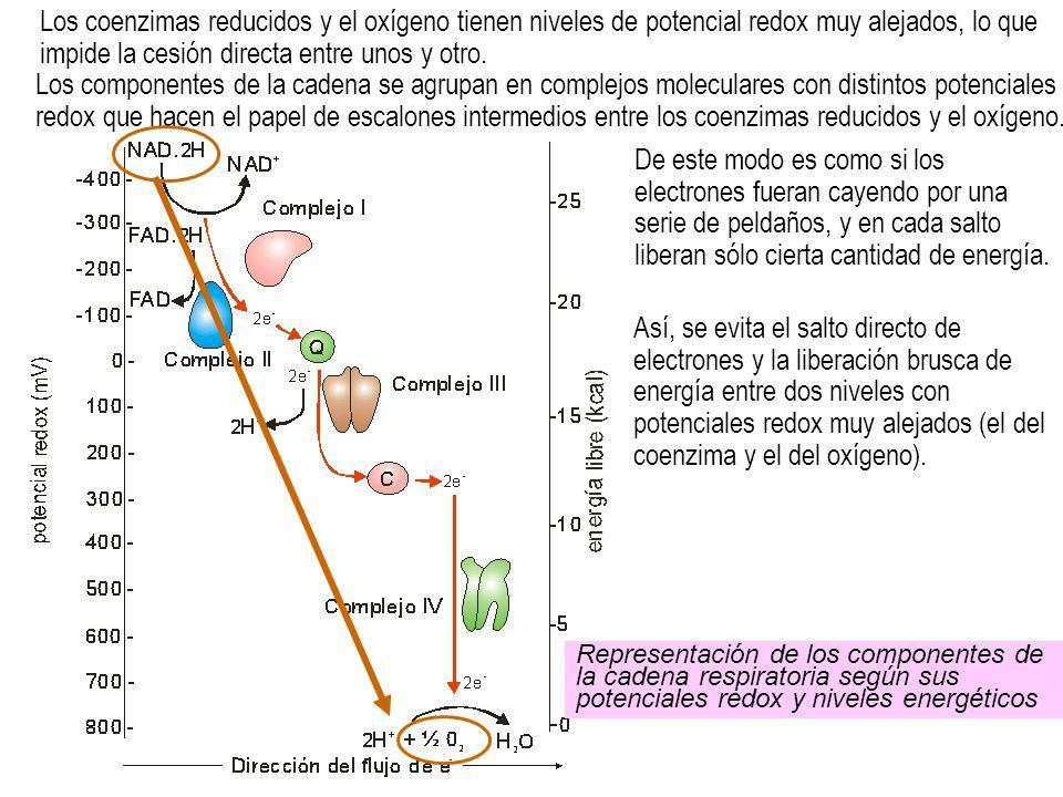 Los coenzimas reducidos y el oxígeno tienen niveles de potencial redox muy alejados, lo que impide la cesión directa entre unos y otro.