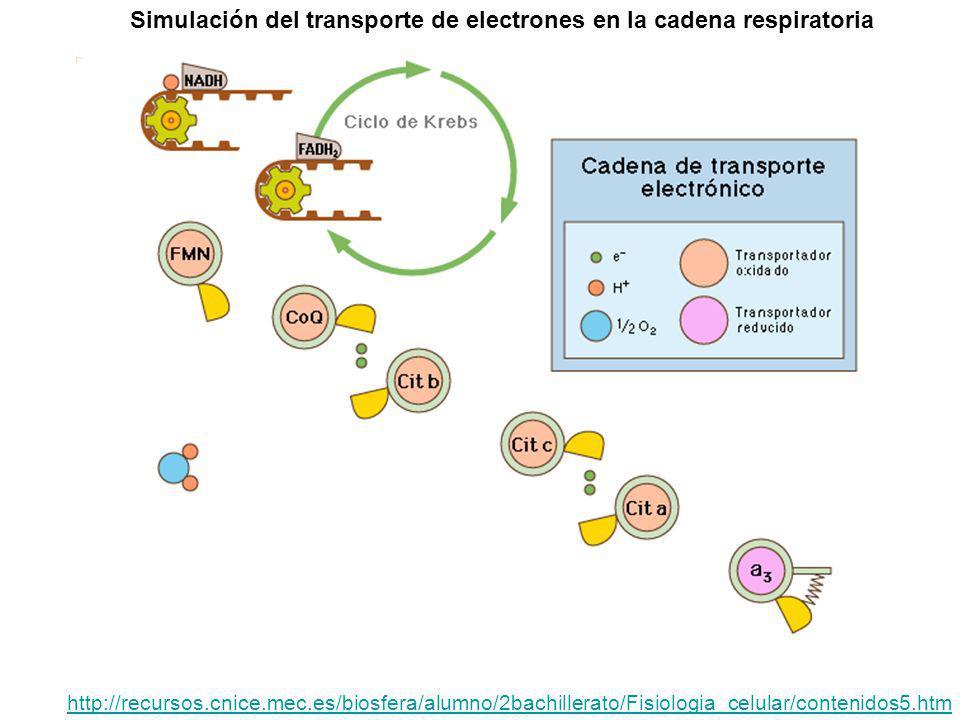 Simulación del transporte de electrones en la cadena respiratoria