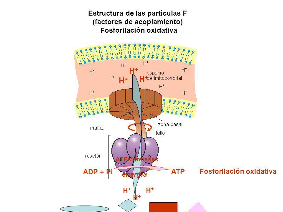 H+ H+ H+ Estructura de las partículas F (factores de acoplamiento)
