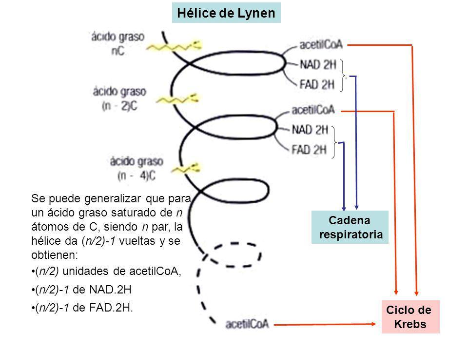 Hélice de Lynen Se puede generalizar que para un ácido graso saturado de n átomos de C, siendo n par, la hélice da (n/2)-1 vueltas y se obtienen: