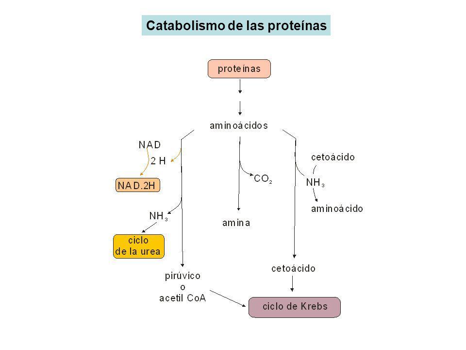 Catabolismo de las proteínas