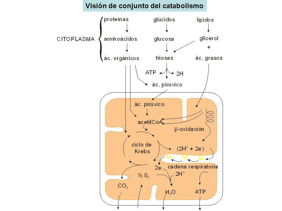 Visión de conjunto del catabolismo