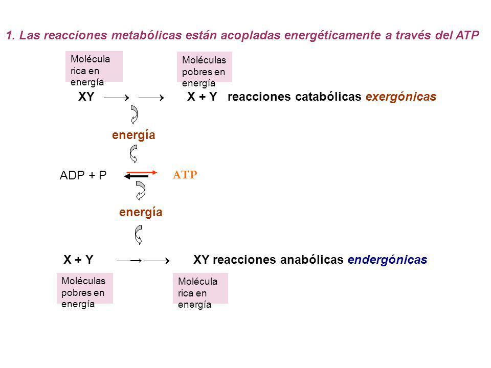 XY   X + Y reacciones catabólicas exergónicas