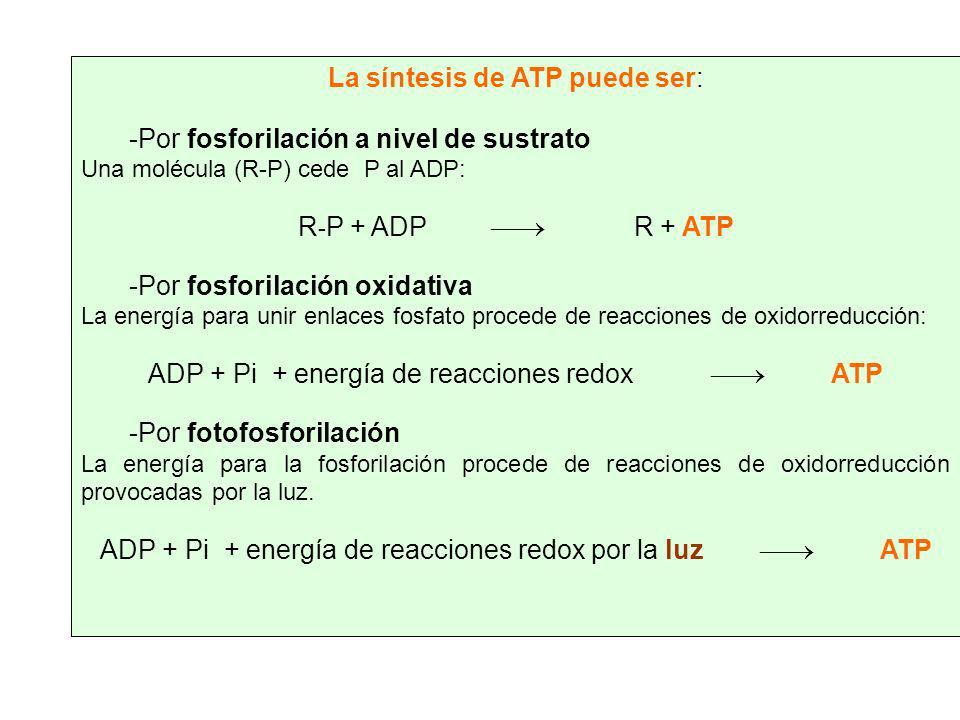 La síntesis de ATP puede ser: Por fosforilación a nivel de sustrato