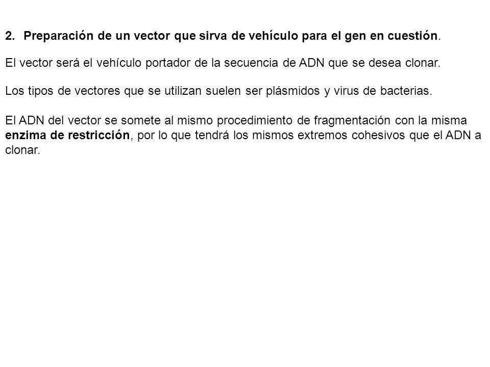 Preparación de un vector que sirva de vehículo para el gen en cuestión.