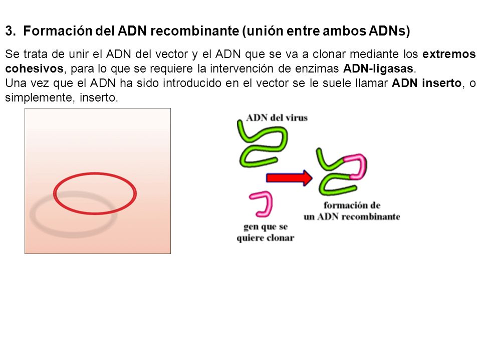 Formación del ADN recombinante (unión entre ambos ADNs)