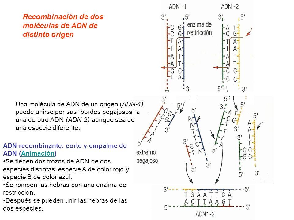 Recombinación de dos moléculas de ADN de distinto origen