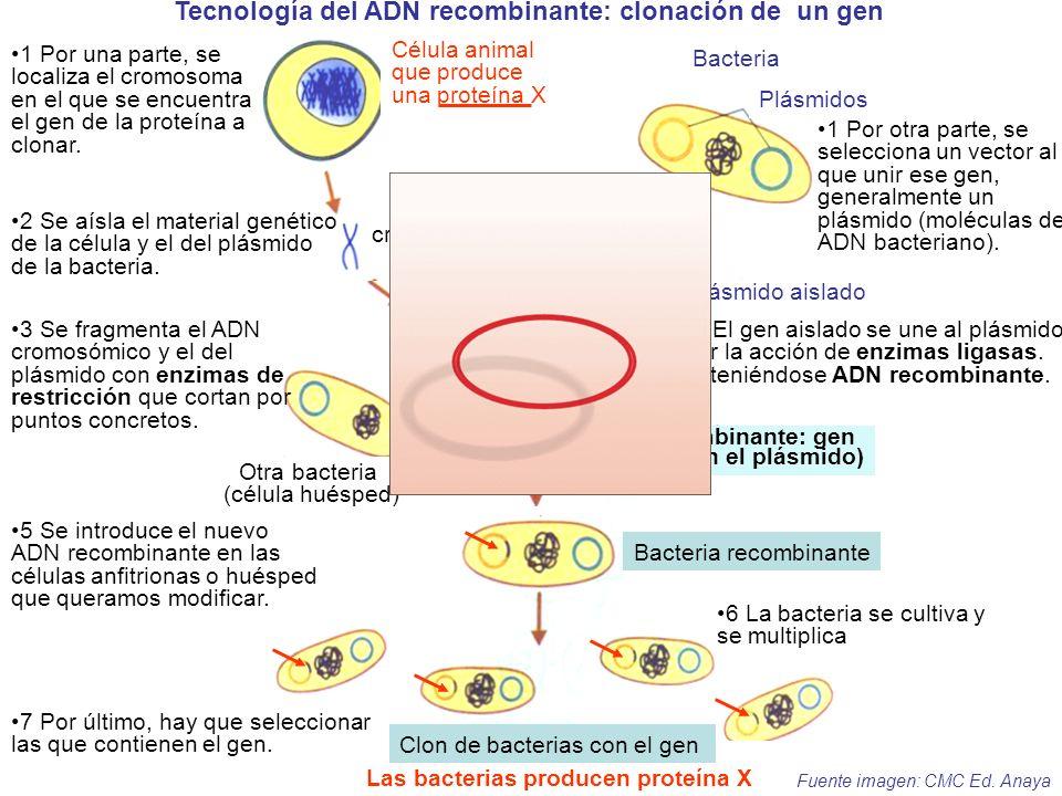 Tecnología del ADN recombinante: clonación de un gen