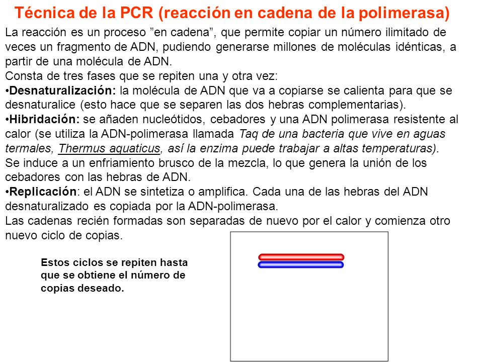 Técnica de la PCR (reacción en cadena de la polimerasa)