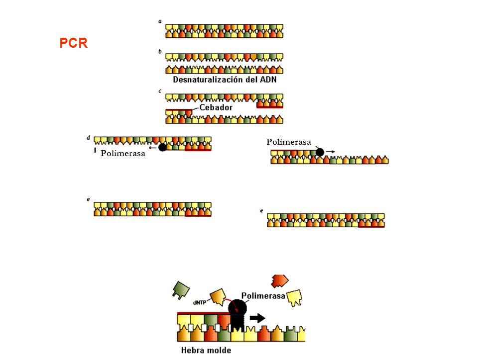 PCR Polimerasa Polimerasa