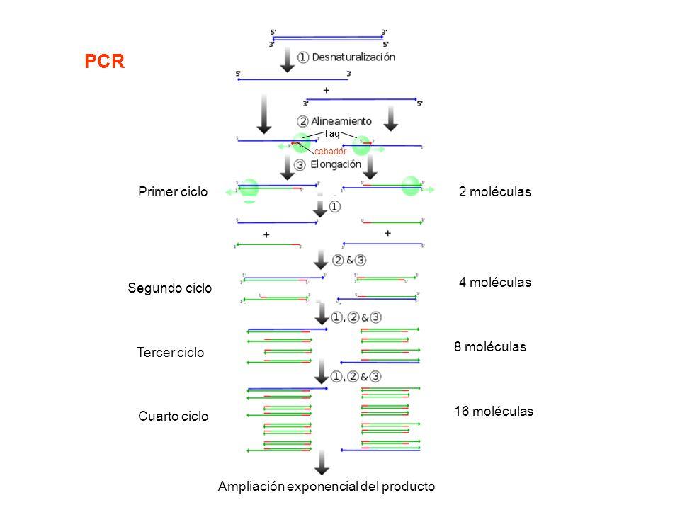 PCR Primer ciclo 2 moléculas 4 moléculas Segundo ciclo 8 moléculas