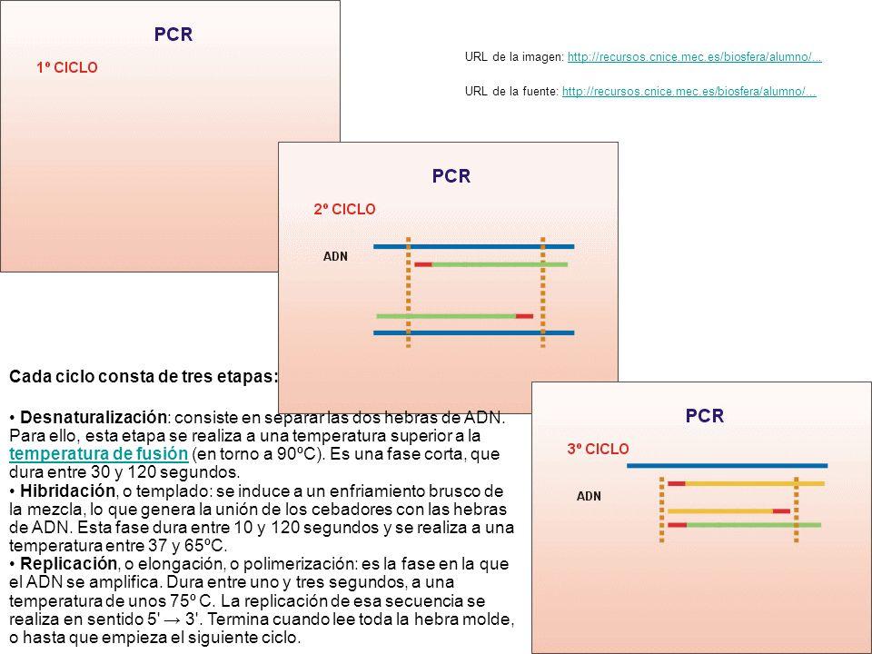 Cada ciclo consta de tres etapas: