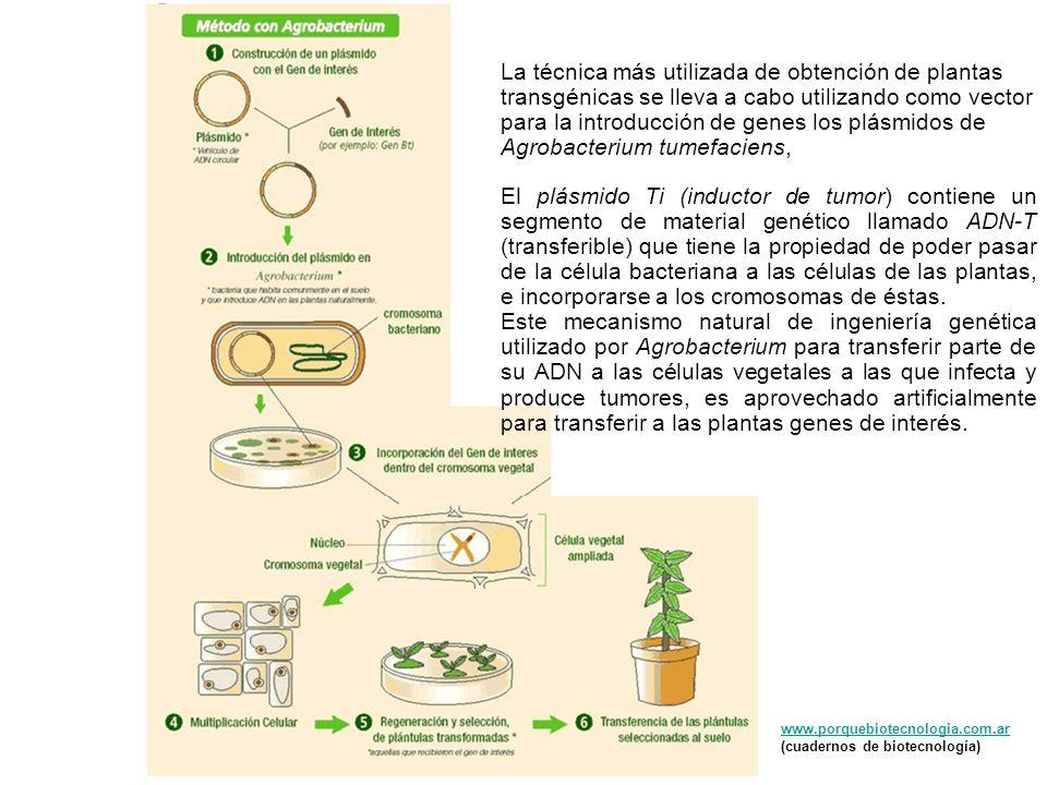 La técnica más utilizada de obtención de plantas transgénicas se lleva a cabo utilizando como vector para la introducción de genes los plásmidos de Agrobacterium tumefaciens,