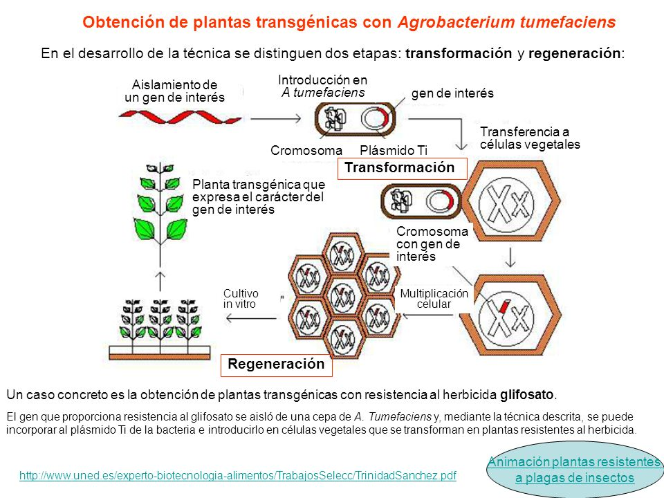 Obtención de plantas transgénicas con Agrobacterium tumefaciens