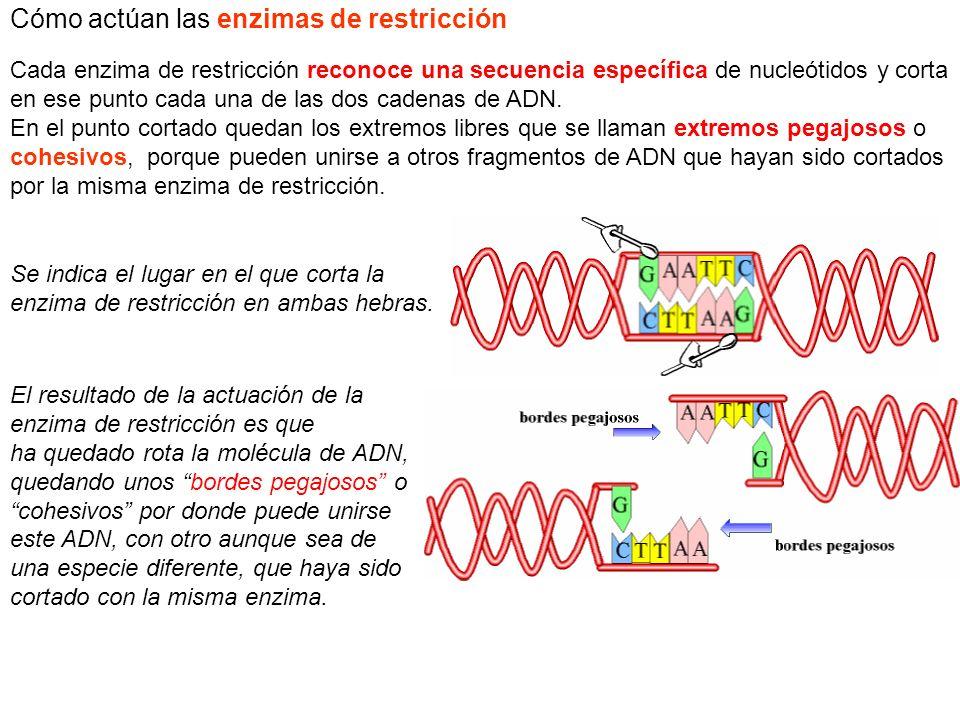 Cómo actúan las enzimas de restricción