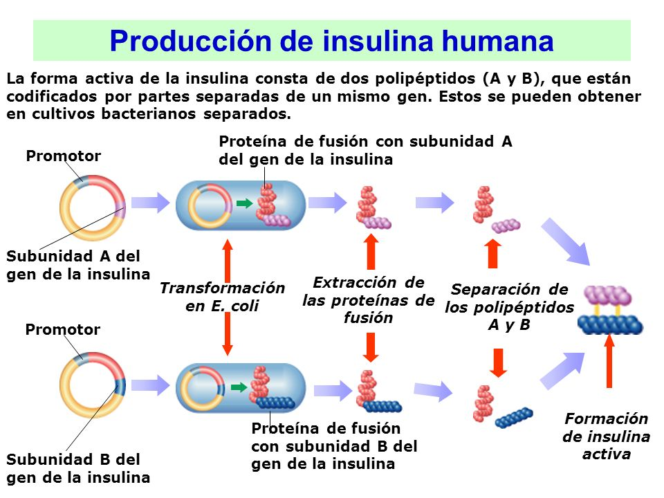 Producción de insulina humana