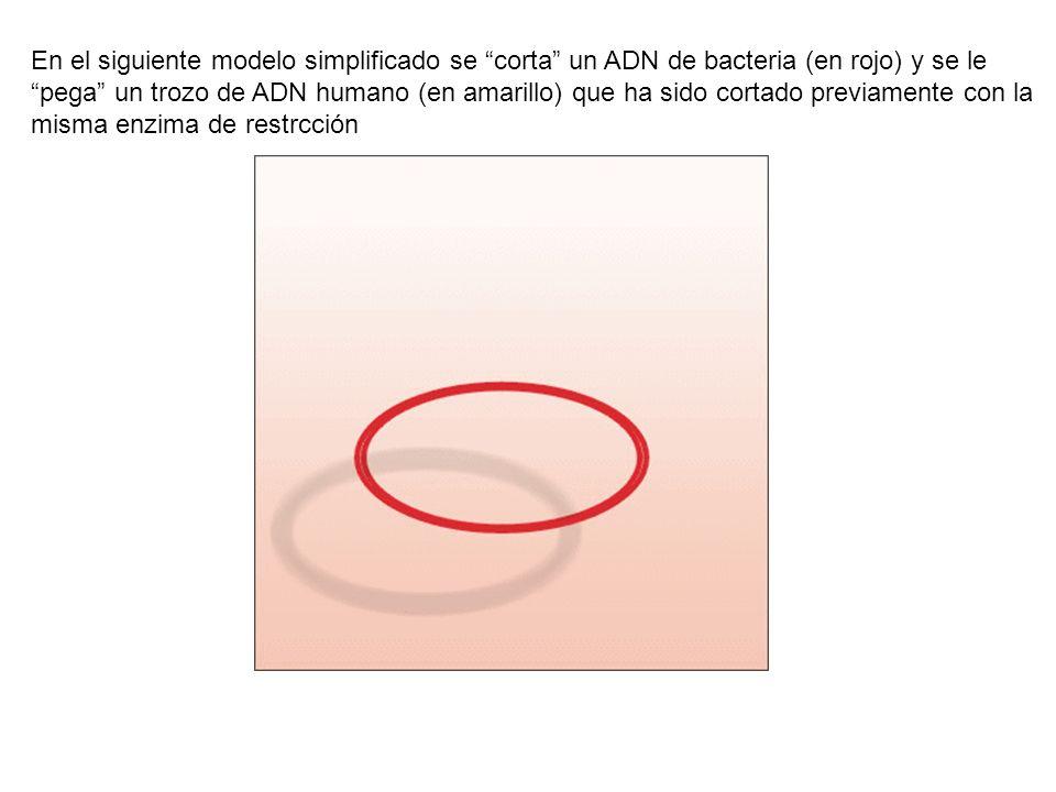 En el siguiente modelo simplificado se corta un ADN de bacteria (en rojo) y se le pega un trozo de ADN humano (en amarillo) que ha sido cortado previamente con la misma enzima de restrcción
