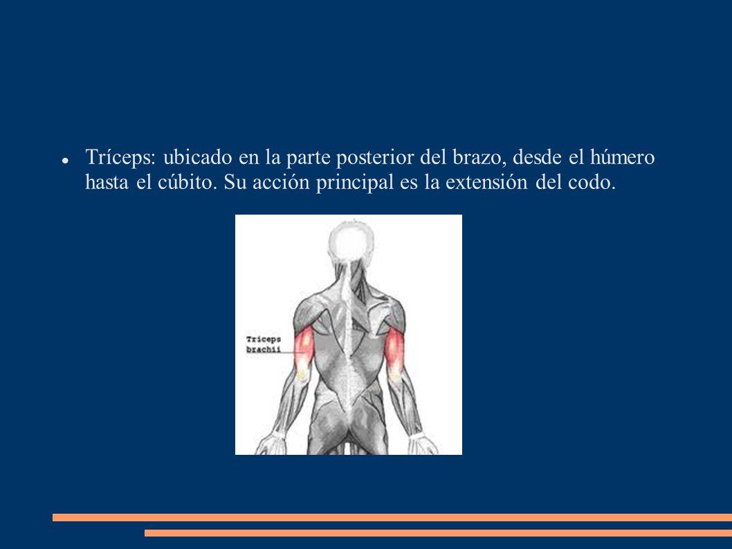 Tríceps: ubicado en la parte posterior del brazo, desde el húmero hasta el cúbito.