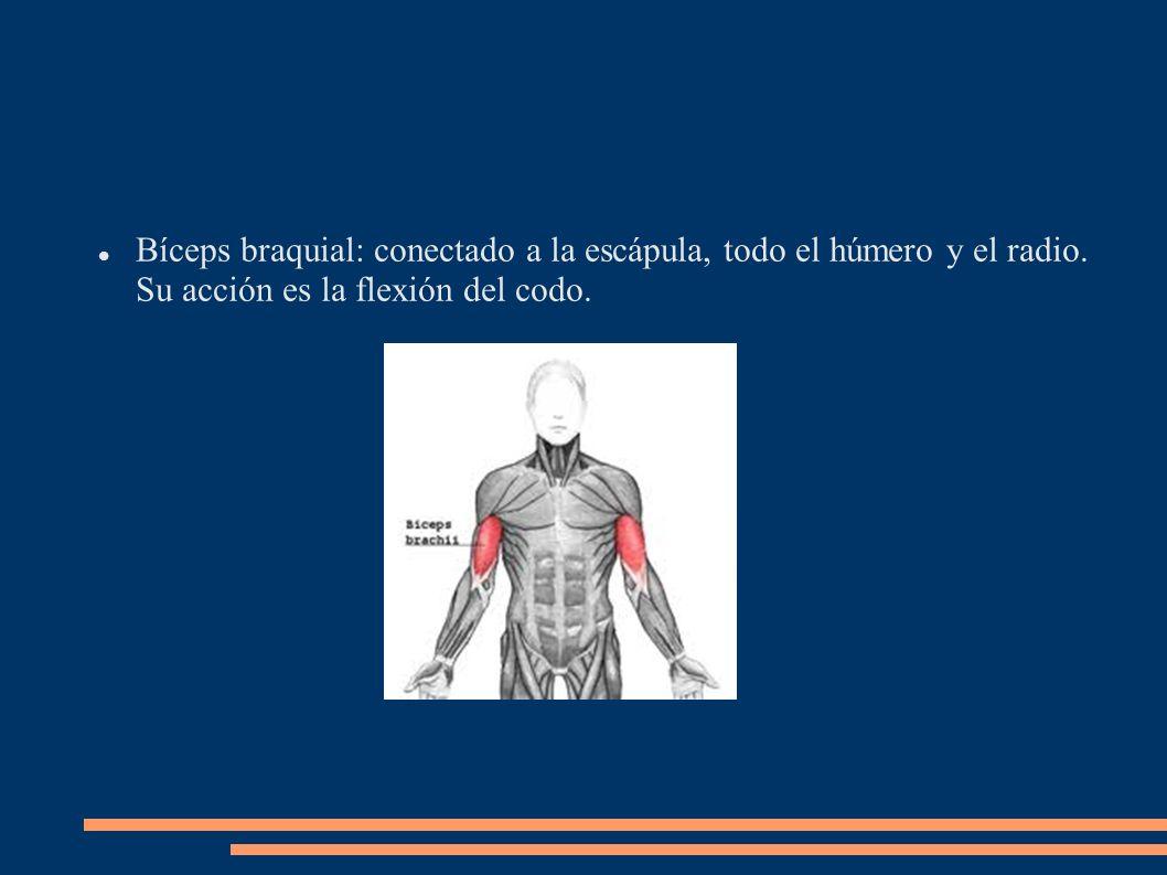 Bíceps braquial: conectado a la escápula, todo el húmero y el radio