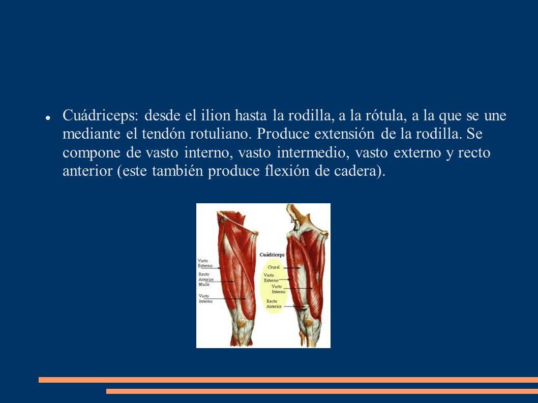Cuádriceps: desde el ilion hasta la rodilla, a la rótula, a la que se une mediante el tendón rotuliano.