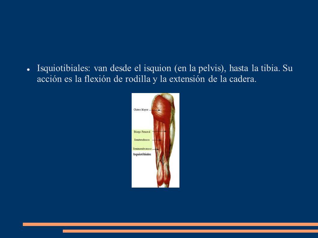 Isquiotibiales: van desde el isquion (en la pelvis), hasta la tibia