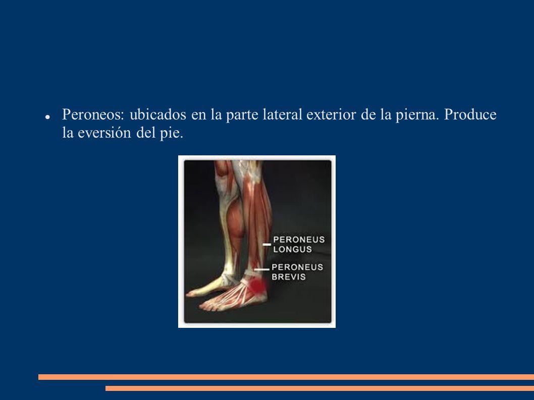 Peroneos: ubicados en la parte lateral exterior de la pierna