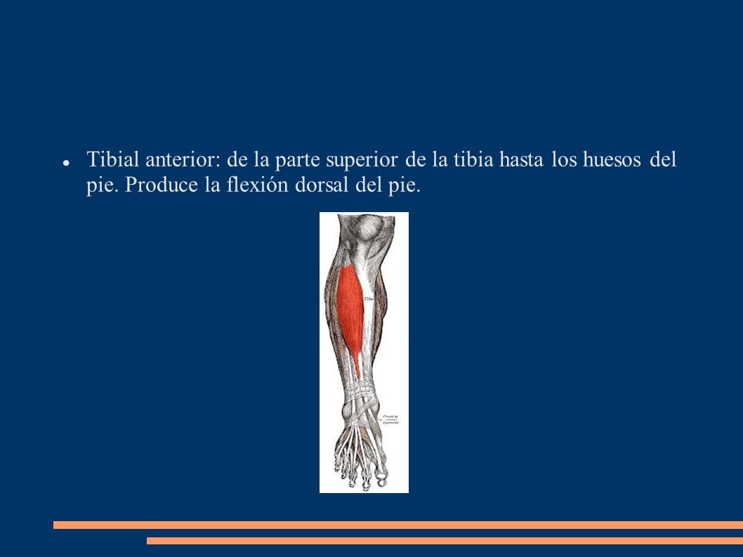 Tibial anterior: de la parte superior de la tibia hasta los huesos del pie.