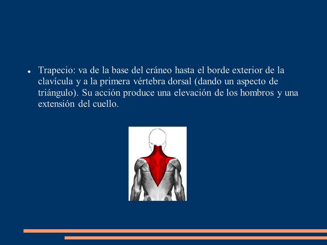 Trapecio: va de la base del cráneo hasta el borde exterior de la clavícula y a la primera vértebra dorsal (dando un aspecto de triángulo).