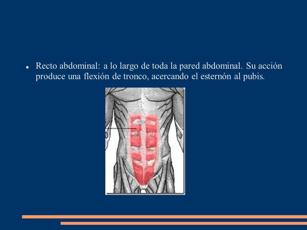 Recto abdominal: a lo largo de toda la pared abdominal