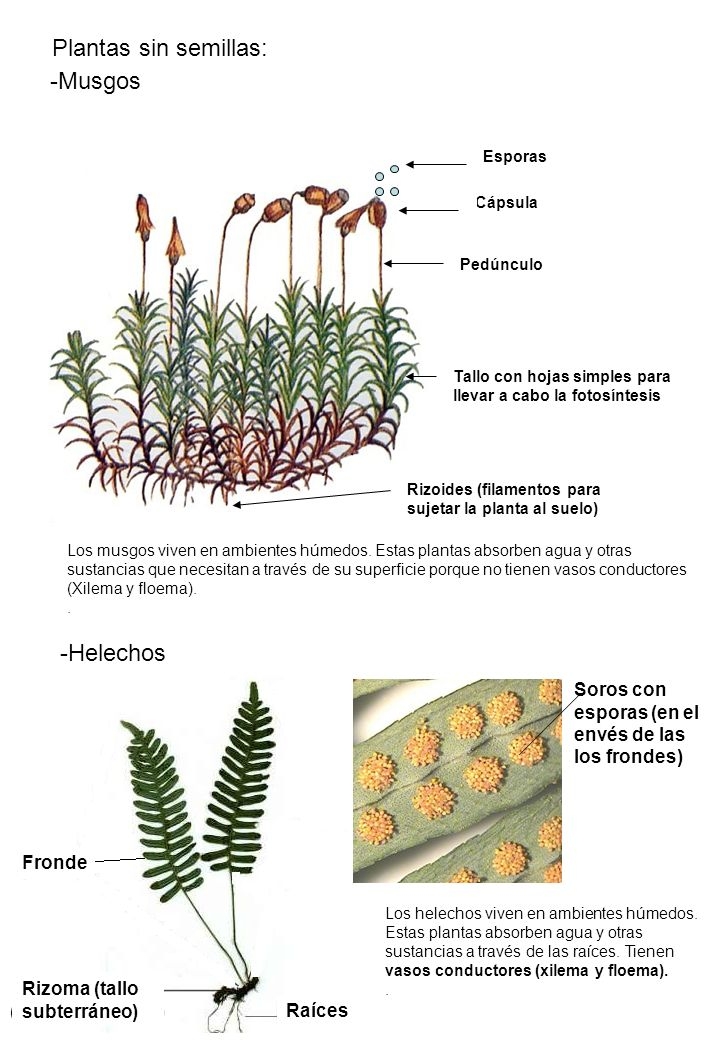 Plantas sin semillas musgos helechos ppt video online for Plantas sin semillas