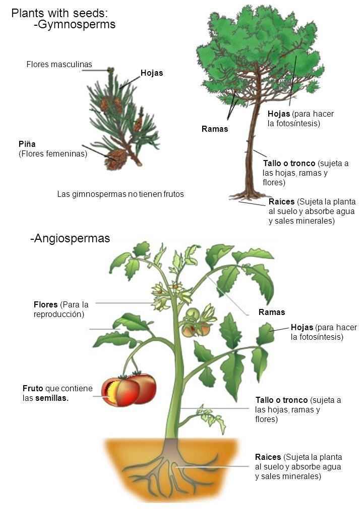Plants with seeds: -Gymnosperms -Angiospermas Flores masculinas Hojas