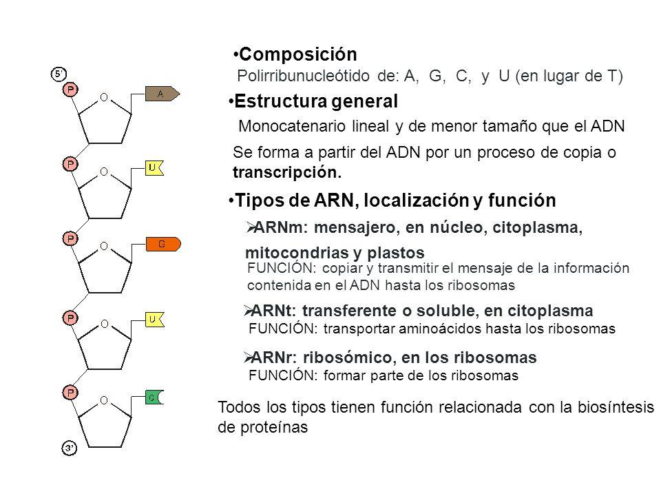 Tipos de ARN, localización y función