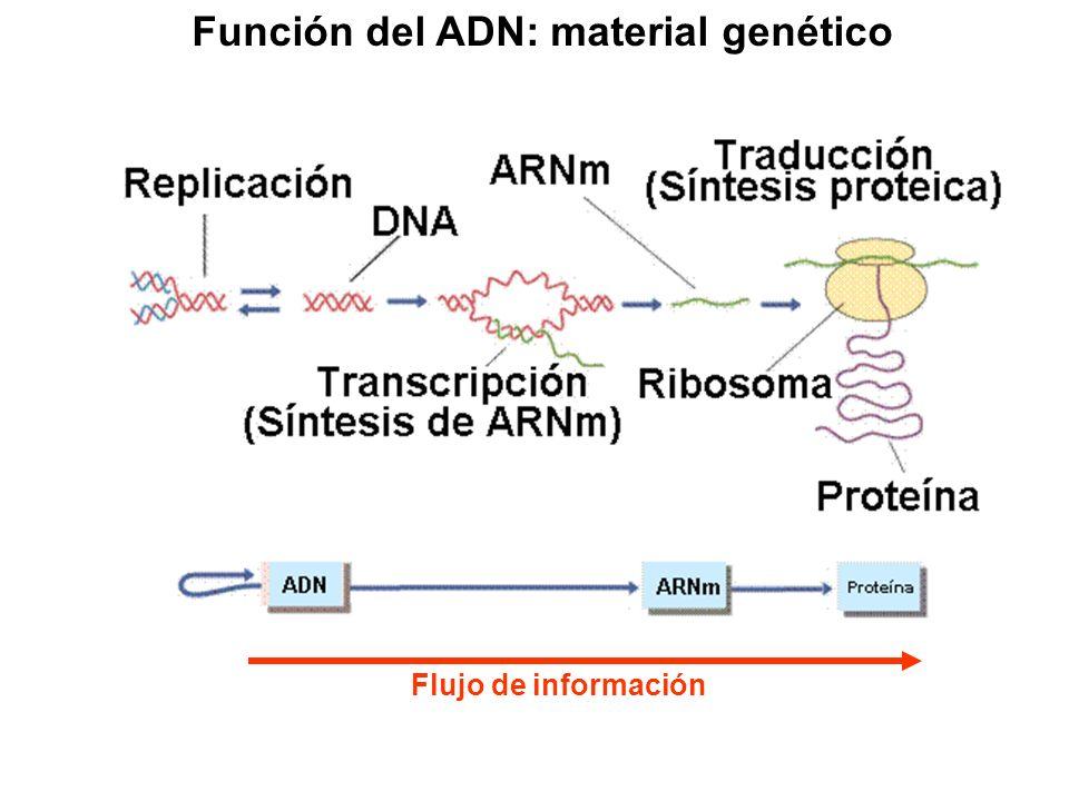 Función del ADN: material genético