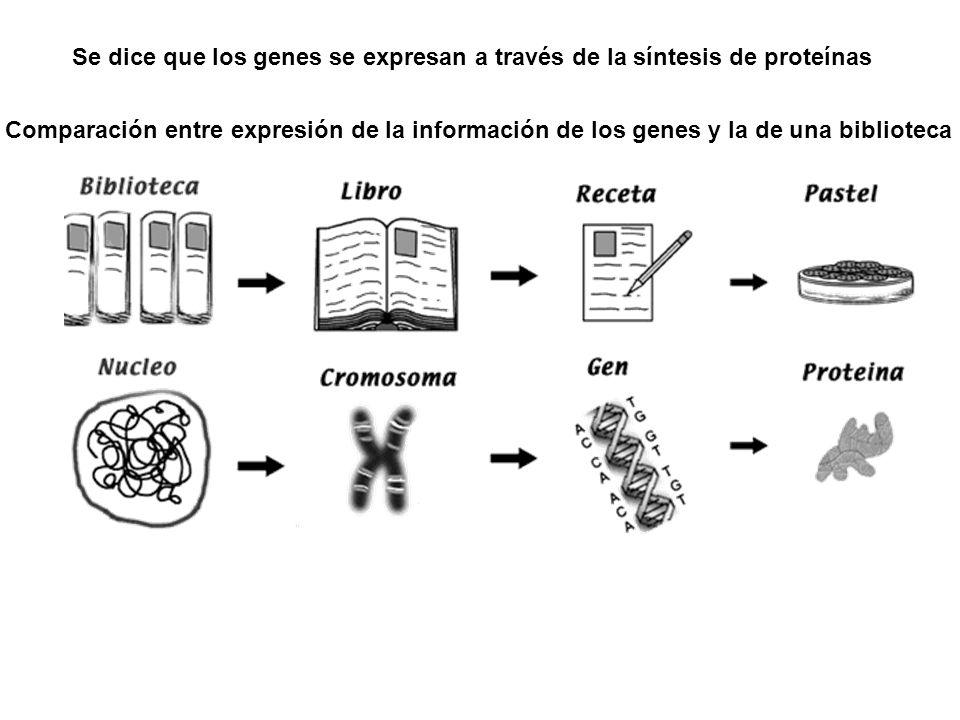 Se dice que los genes se expresan a través de la síntesis de proteínas