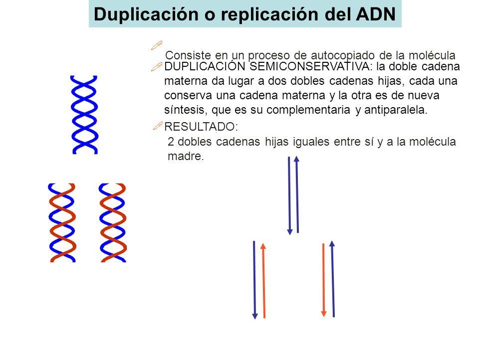Duplicación o replicación del ADN
