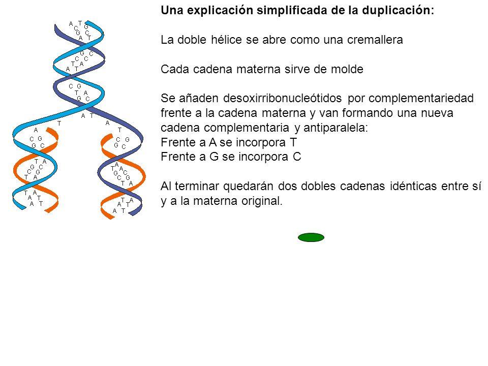 Una explicación simplificada de la duplicación:
