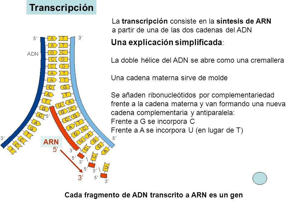 Transcripción Una explicación simplificada:
