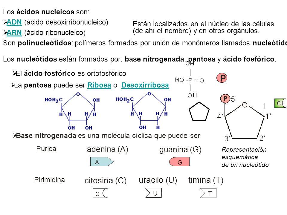 citosina (C) uracilo (U) timina (T) adenina (A) guanina (G)