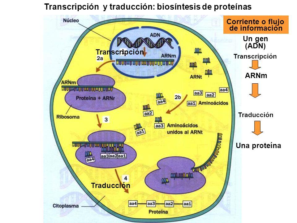 Transcripción y traducción: biosíntesis de proteínas
