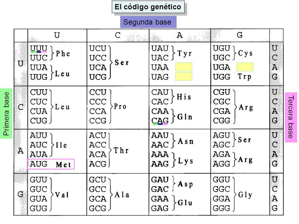El código genético Segunda base Primera base Tercera base