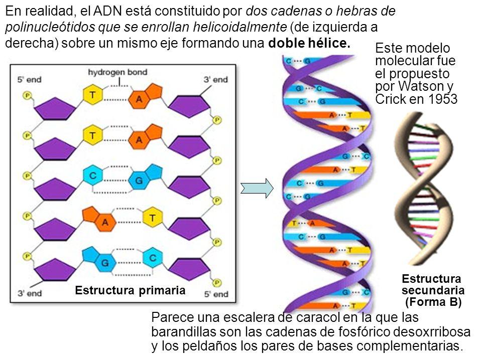 Este modelo molecular fue el propuesto por Watson y Crick en 1953