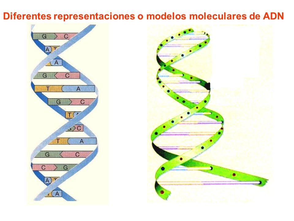 Diferentes representaciones o modelos moleculares de ADN