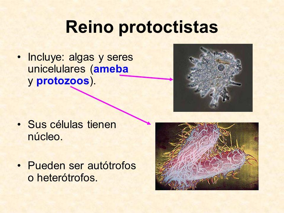 Reino protoctistas Incluye: algas y seres unicelulares (ameba y protozoos). Sus células tienen núcleo.