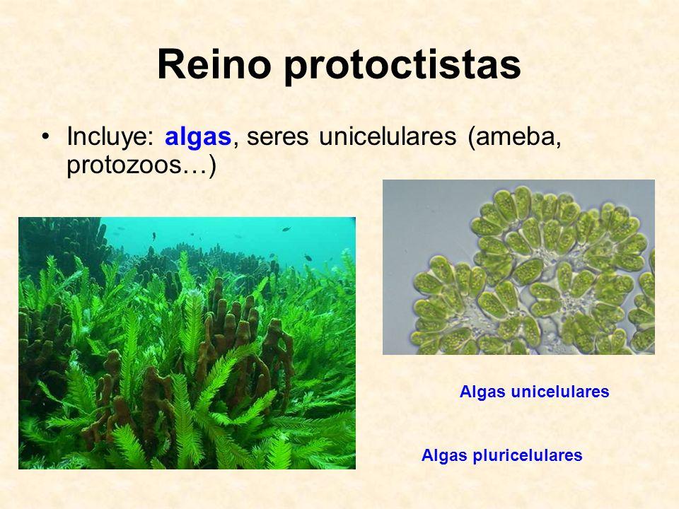 Reino protoctistas Incluye: algas, seres unicelulares (ameba, protozoos…) Algas unicelulares.
